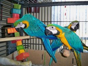 Gold Macaw Parrot For Sale HAND TAME & TALKING With Cage.