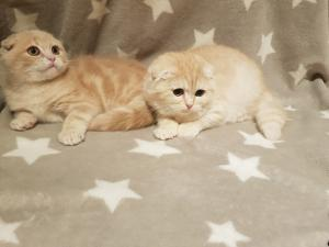 Pedigree Scottish Fold Kittens for sale