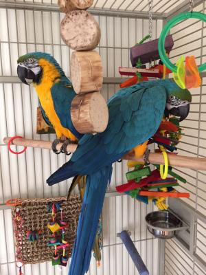 Pair of Blue and Gold Macaw Parrots for Adoption