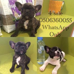 Puppy French bulldog 4 sale