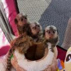 Marmoset Monkeys For Rehoming whatsapp me at +237671762117 for more details