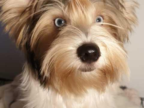 Blue Eyed Yorkshire Terrier for sale