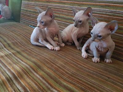 Cute Sphynx Kittens for sale - دبي مون