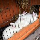 Lovely White Bunnies For Sale