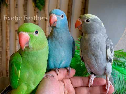 Gorgeous Hand Reared Coloured Baby Indian Ring-neck Parrots For Sale.