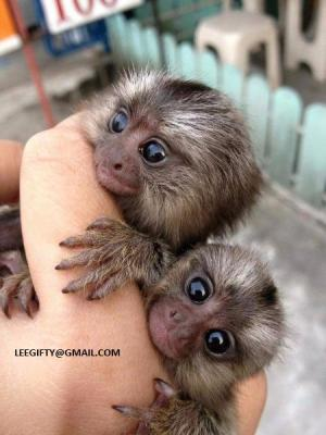Gorgeous Baby Marmoset Monkeys for adoption