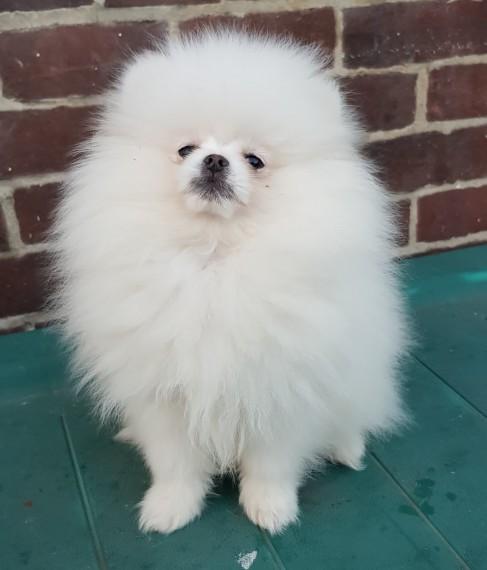 Cute teacup Pomeranian Puppies for sale - دبي مون