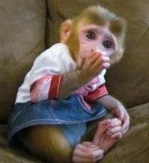 Capuchin Monkeys For sale - دبي مون
