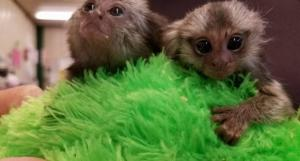 Primates for sale to loving and caring families .